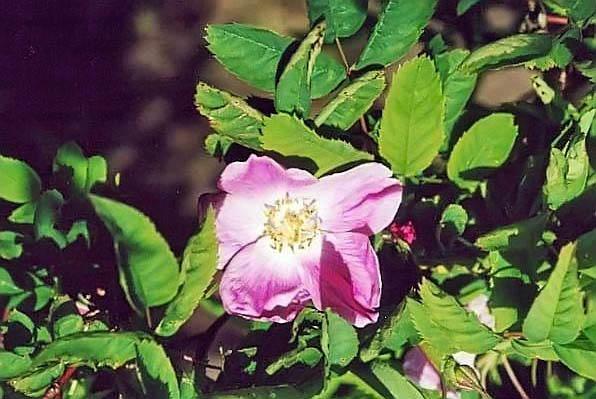 R.rugosa lyndlyana filtered-3-g.jpg