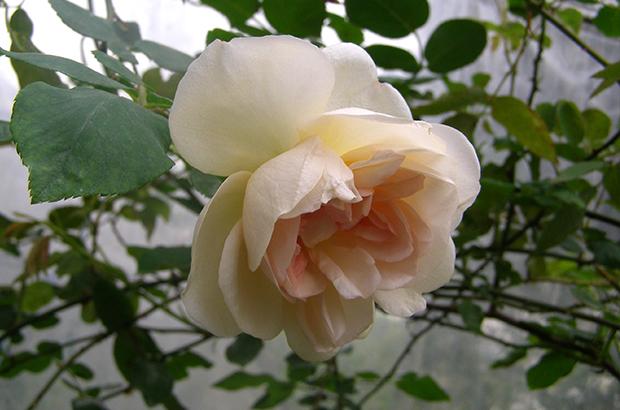 Desprez à fleurs jaunes, Himeno Rose Nursery.jpg