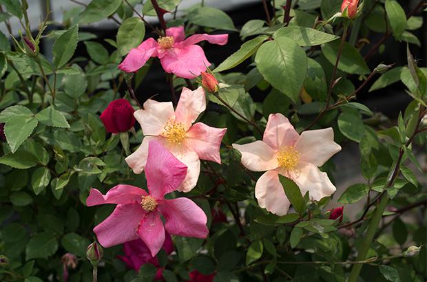 Mutabilis, Himeno Rose Nursery.jpg
