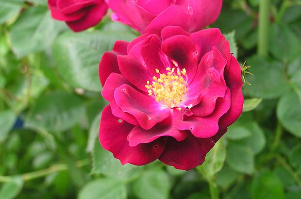Dr.Huey, Himeno Rose Nursery.jpg