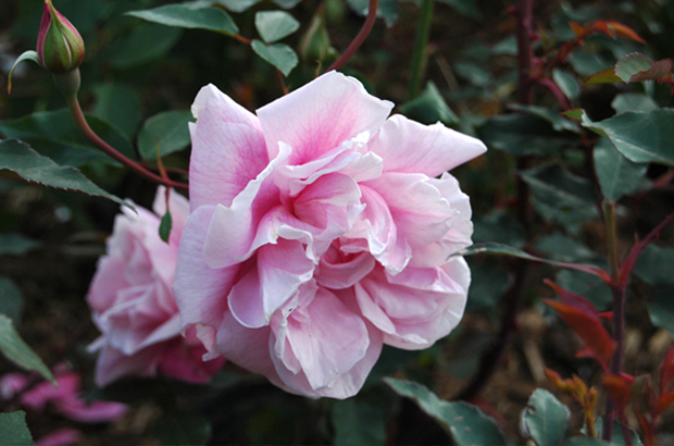 Le Vesuve, Himeno Rose Nursery.jpg
