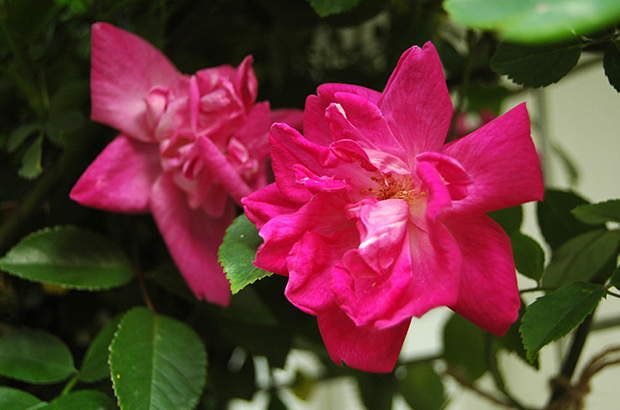 Rosa chinensis, Himeno Rose Nursery.jpg