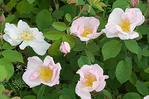 R. x polliniana, Rautio 2.jpg
