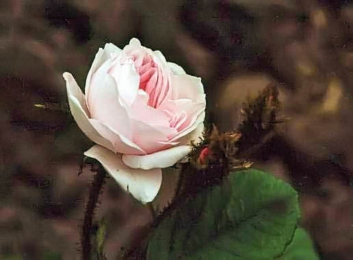 Rosa centifolia white moss filtered-3-g.jpg