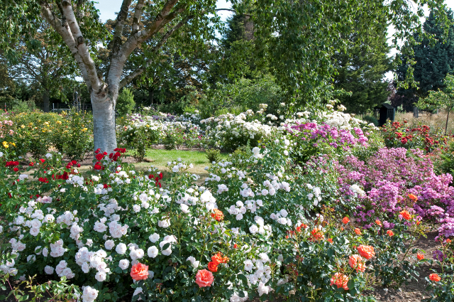 Albans Silver Birch and Rose Beds at Gardens of the Rose, RNRS.JPG