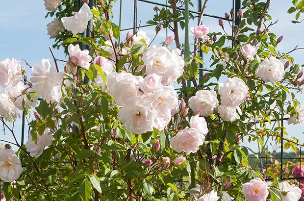 Champney's Pink Cluster, Himeno Rose Nursery.jpg