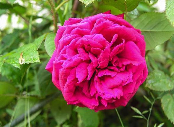 Alienor d' Aquitaine - hybride rosa x centifolia muscosa-1-g.jpg