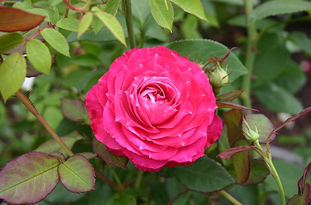 Chi Dan Hing Xin, China, ö., unbek. Himeno Rose Nursery.jpg
