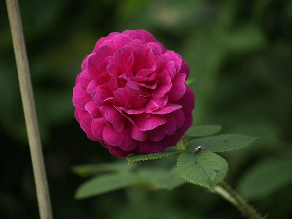 Rosa Centifolia-Henry Martin-2020-07-01- 7019015.jpg