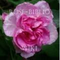 Rose-Biblio.PNG
