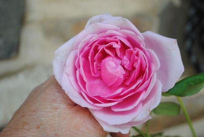 Polly E M Blieschke Pink Granny, FR 9.jpg