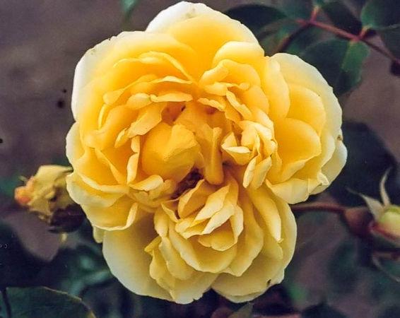 Duchesse d'auerstadt filtered-3-g.jpg