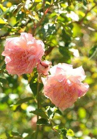 Florence Bowers' Pink Tea, FR 2.jpg