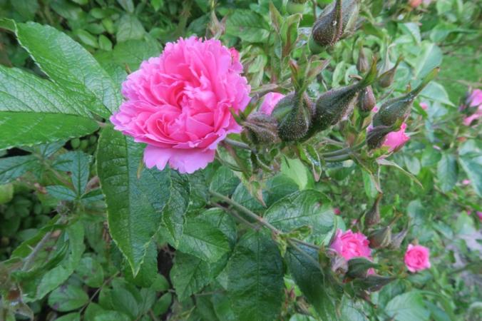 Pink Grootendorst, Ostergaard 1.PNG