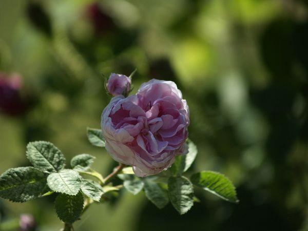 Rosa cenfifolia-Pompon de Bourgogne-2020-06-20- 6158947.JPG
