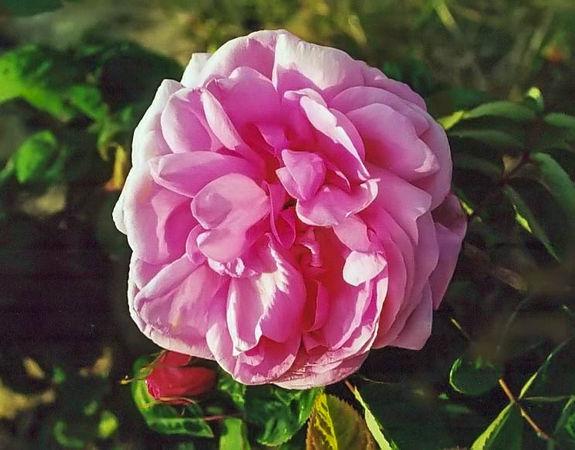 Rosa bullata filtered-3-g.jpg