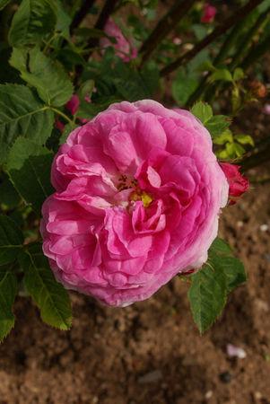 R. x centifolia L. SGH (3)-1-w.jpg