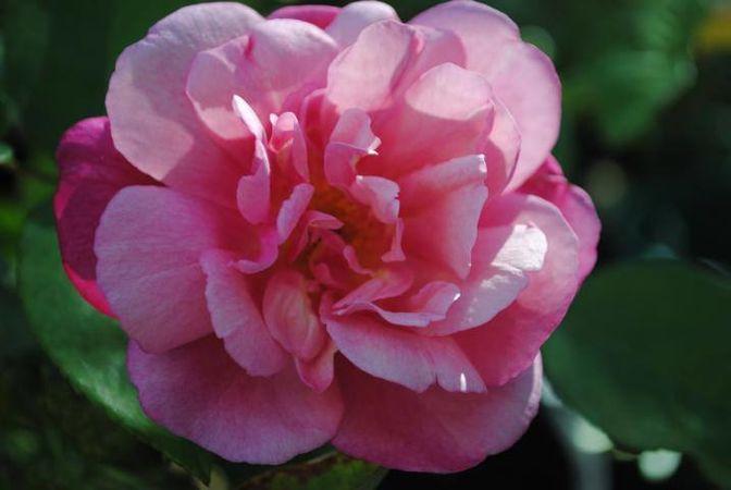 Almerta Orchard Pink Tea, FR 1.jpg