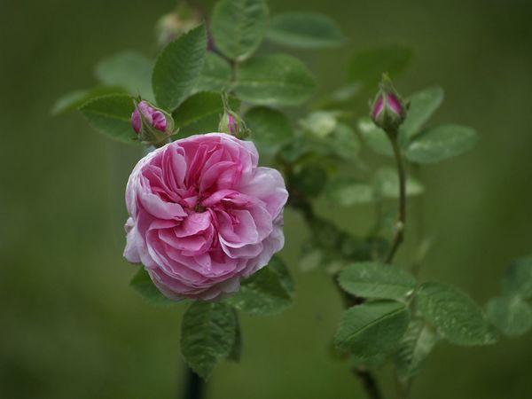 Rosa cenfifolia-Pompon de Bourgogne-2020-06-08- 6088808.jpg