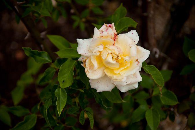 Parks' Yellow Tea-scented China, Hiroshi Wakabayashi, hiros-factory.sakura.ne.jp 1-w.jpg