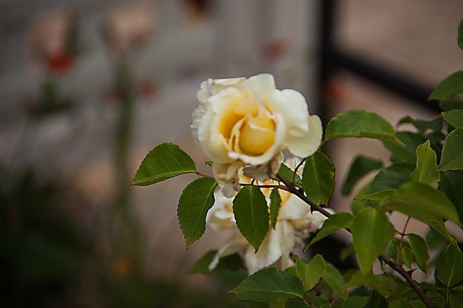 Parks' Yellow Tea-scented China, Hiroshi Wakabayashi, hiros-factory.sakura.ne.jp 2-w.jpg