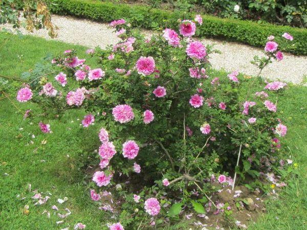 R.roxburghii flore plena, Stéphane Barth, L'Hay 2.jpg