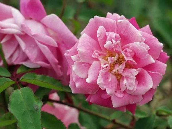 Beauty of rosemawr filtered-3-g.jpg