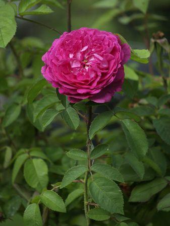 Rosa Remontant-Reine des Violettes-2019-08-04- 8078585.jpg