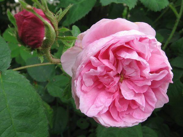 Rose des peintres 4 juin Kopie.jpg
