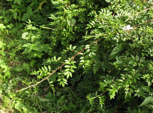 R.maximowicziana, Yuri Pirogov, plantarium.ru 3.jpg