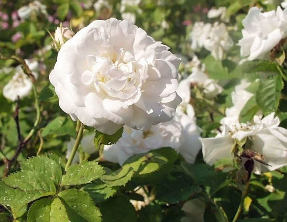 Princesse de Lamballe filtered-3-g.jpg