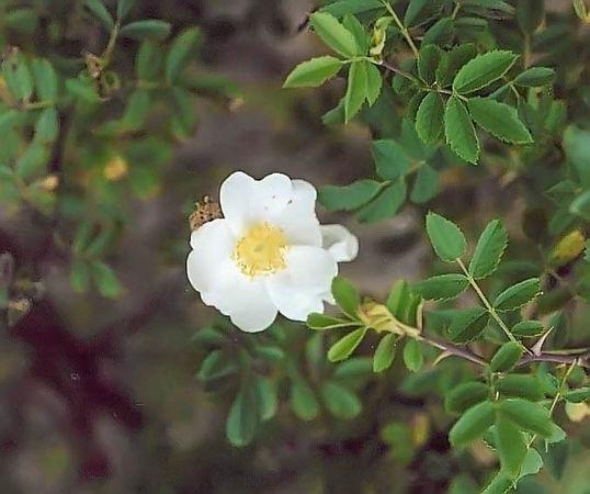 R.minutifolia alba (2) filtered-3-g.jpg
