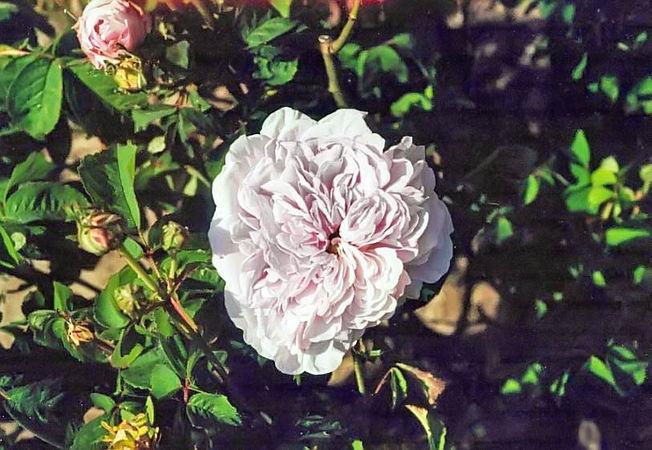 Duchesse de berry Kopie filtered-3-g.jpg