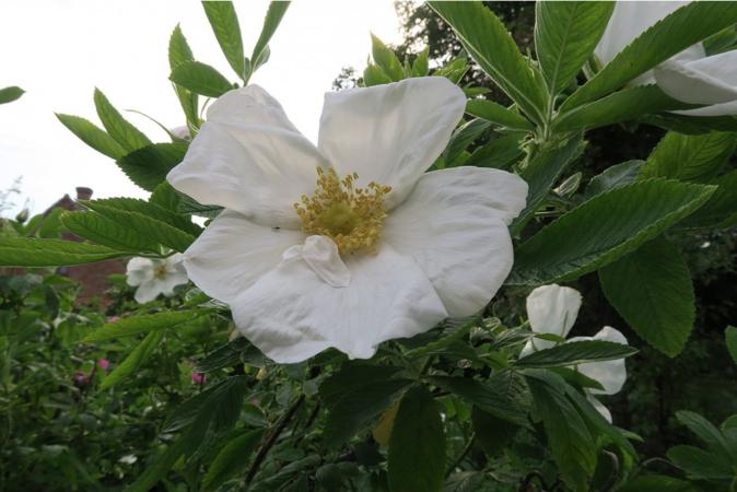 Nyveldt's White, Ostergaard 2.PNG