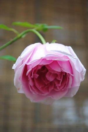 Polly E M Blieschke Pink Granny, FR 8.jpg