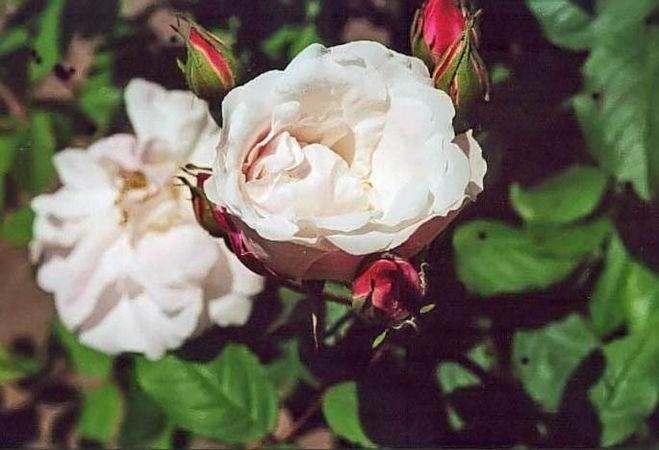 R.venusta pendula filtered-3-g.jpg