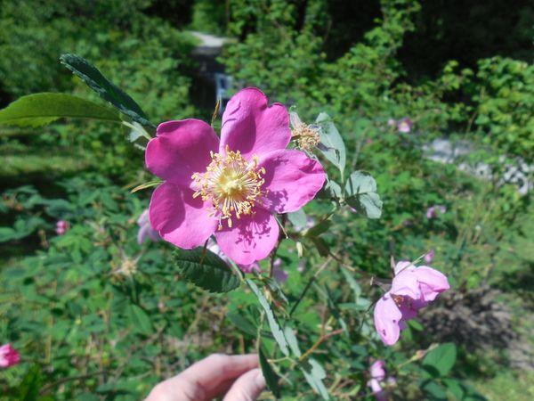 Rosa acicularis Q 10.1.JPG
