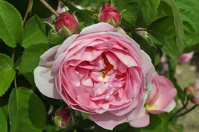 Rosa gallica huilii filtered-3-g.jpg