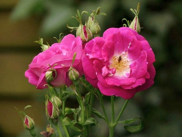 Rosa Inermis Morletti-korr.2.jpg