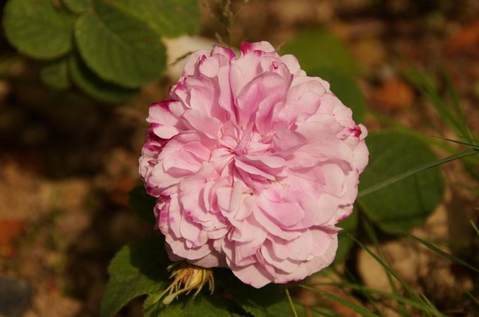RB Pink Leda2.jpg