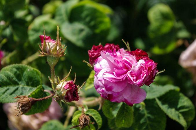 Pink Leda = Rosa Sport v. Leda, England vermutlich-2-SGH-1-w.jpg
