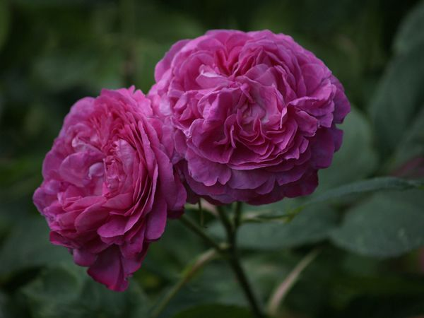 Rosa Remontant-Reine des Violettes-2020-07-01- 7019032.jpg