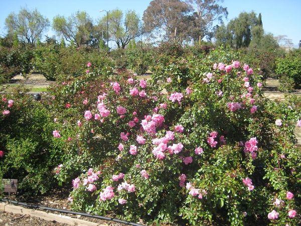 San Jose Heritage Rose Garden San Jose1.jpg