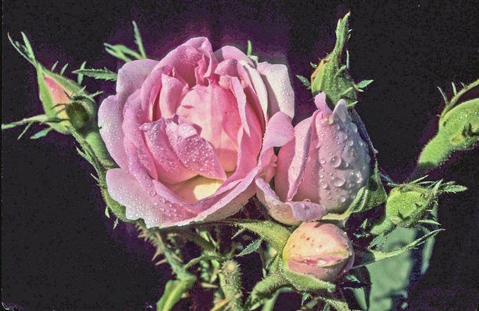 Edward Rose 10-w.jpg