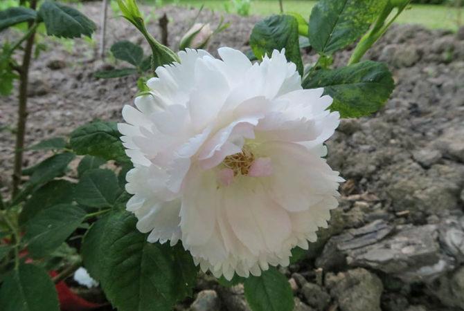 Dianthiflora, Ostergaard 3-w.jpg