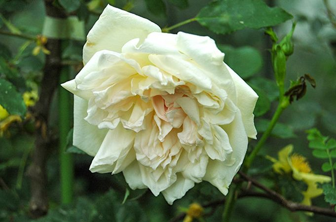 Parks' Yellow Tea-scented China, Himeno Rose Nursery-w.jpg