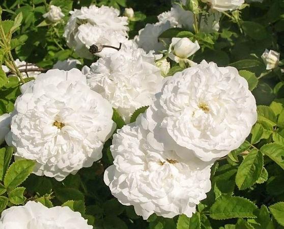 Pompon Blanc Parfait filtered-3-g.jpg