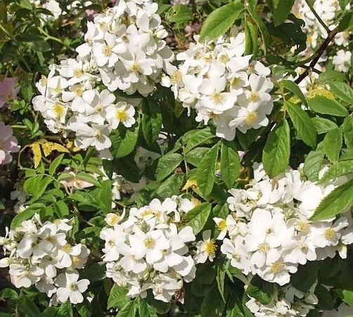 R.moschata floribunda filtered-3-g.jpg