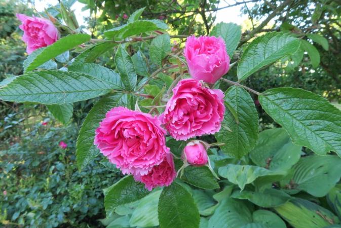 Pink Grootendorst, Ostergaard 3.PNG
