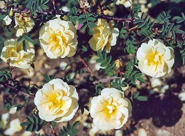 R.hugonis flore plena filtered-3-g.jpg